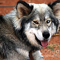 Miley The Husky With Blue And Brown Eyes  by Doc Braham