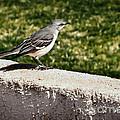 Mockingbird by Robert Bales
