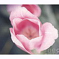 Pink Tulip  by Artist and Photographer Laura Wrede