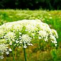 Queen Anne's Lace by Carol Toepke