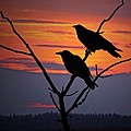 2 Ravens by Ron Day