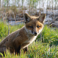 Red Fox Kit by Olivier Le Queinec