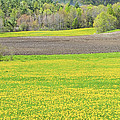 Spring Farm Landscape With Dandelion Bloom In Maine by Keith Webber Jr