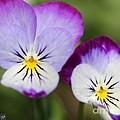 Viola Named Sorbet Lemon Blueberry Swirl by J McCombie