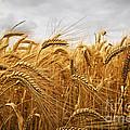 Wheat Print by Elena Elisseeva