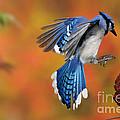 Blue Jay by Scott Linstead