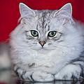 British Longhair Kitten Print by Melanie Viola