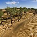 Desert Tamarix Trees by Dan Yeger