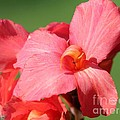 Dwarf Canna Lily Named Shining Pink by J McCombie