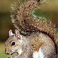 Eastern Gray Squirrel by Millard H. Sharp