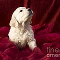 Golden Retriever Puppy by Angel  Tarantella