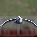 Gull by Jim Nelson