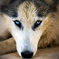 Husky  by Stelios Kleanthous