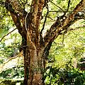 Kingdom Of The Trees. Peradeniya Botanical Garden. Sri Lanka by Jenny Rainbow