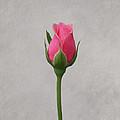 Pink Rosebud by Sandy Keeton