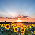 Sunflower Summer Sunset Landscape With Blue Skies by Matthew Gibson