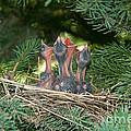 Cedar Waxwings Print by Linda Freshwaters Arndt