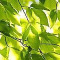 Green Spring Leaves by Elena Elisseeva