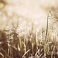 June Grass Flowering by Elena Elisseeva