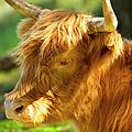 Highland Cow by Brian Jannsen