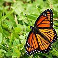 Monarch Butterfly by Carol Toepke