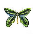 6 Queen Alexandra Butterfly by Amy Kirkpatrick