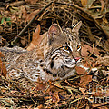 611000006 Bobcat Felis Rufus Wildlife Rescue by Dave Welling