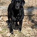 Black Labrador Retriever by Linda Freshwaters Arndt