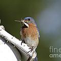 Eastern Bluebird by Linda Freshwaters Arndt