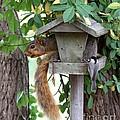 Eastern Fox Squirrel Print by Jack R Brock