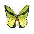 8 Goliath Birdwing Butterfly by Amy Kirkpatrick