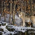 Timber Wolf Pictures Print by Wolves Only