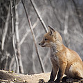 A Cute Kit Fox Portrait 2 by Thomas Young