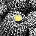 A flower among thorns