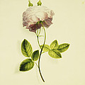 A Pink Rose by James Holland