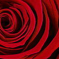 A Rose For Valentine's Day by Adam Romanowicz
