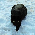 A small Panther in the Snow