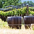 A Vineyard With Oak Barrels by Susan  Schmitz