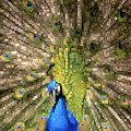 Abstract Peacock Digital Artwork by Georgeta Blanaru