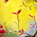 Acer colour Print by Tim Gainey