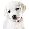 Adorable Yellow Lab Puppy by Diane Diederich