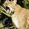 Adult Florida Bobcat by Anne Rodkin