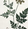 Aethusa Cynapium From Phytographie by L.F.J. Hoquart
