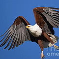African Fish Eagle by Johan Swanepoel
