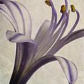 Agapanthus Africanus Star by John Edwards