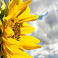Ah Sunflower by Bob Orsillo