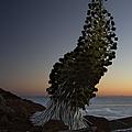 Ahinahina - Silversword - Argyroxiphium Sandwicense - Summit Haleakala Maui Hawaii by Sharon Mau