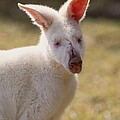 Albino Wallaby by Art Wolfe
