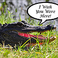 Alligator Greeting Card by Al Powell Photography USA