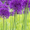 Allium Hollandicum Purple Sensation Flowers by Tim Gainey